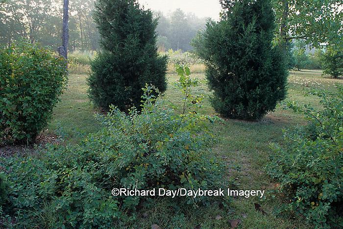 63808-01615 Fragrant Sumac, Juniper, & American Cranberry (Rhus aromatica, Juniperus keteleri, & Viburnum)   IL