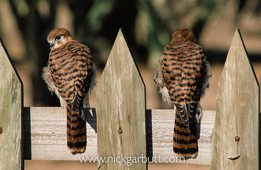 Mauritius Kestrels (Falco punctatus) -  juveniles on garden fence. Moka Mountains, Mauritius, Indian Ocean.
