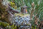 Rufous hummingbird on nest, Washington