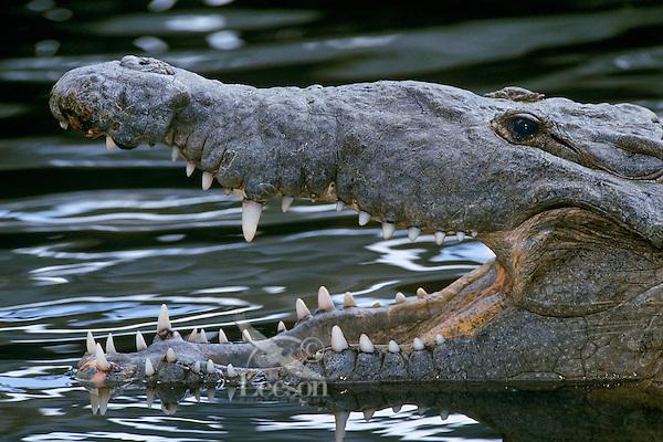 American crocodile (Crocodylus acutus), Florida