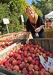 Mill Neck, New York, U.S. 12th October 2013. Volunteer KATHY CHINSKY boxes Jonagold variety apples at the annual Fall Harvest Festival, also known as Apple Fest, which attracts tens of thousands of visitors with its food and more, on the grounds of Mill Neck Manor, an historic Gold Coast estate, during Columbus Day weekend. Proceeds benefit the Mill Neck Family of organizations including the Mill Neck Manor School for the Deaf.