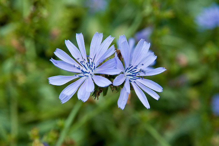 Pale blue flowers of wild chicory (Cichorium intybus), Somerset, late August.