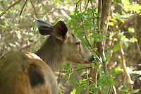 Portrait of a sad looking deer with deep intense eyes <br /> and <br /> keen look<br /> standing under a tree in Junagadh girnar forest
