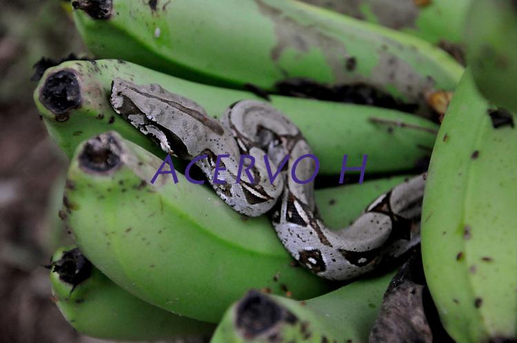 Boidae é uma família de serpentes não peçonhentas encontradas nas Américas, na África, na Europa, na Ásia e em algumas Ilhas do Oceano Pacífico. Wikipédia<br /> Nome científico: Boidae<br /> Peso: Jiboia-constritora: 3,5 kg Encyclopedia of Life<br /> Classificação superior: Alethinophidia<br /> Classificação: Família