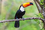 Toco Toucan (Ramphastos toco), Pantanal, Mato Grosso, Brazil.