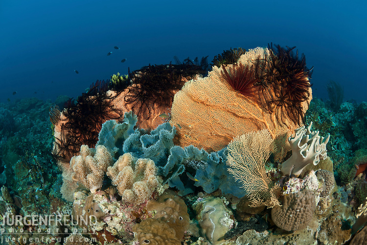 Gorgonian fan corals studded with crinoids or featherstars.