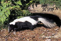 MA09-011z  Striped Skunk - in forest - Mephitis mephitis