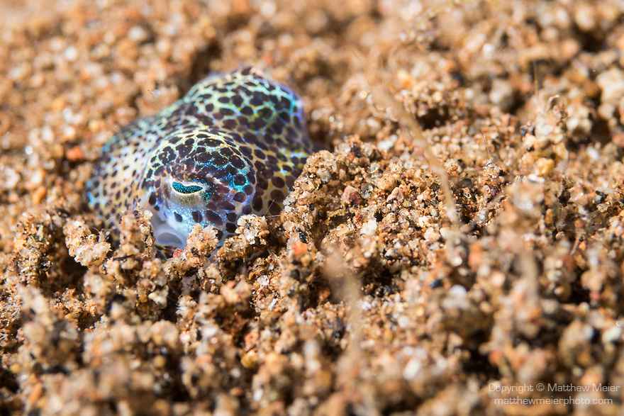 Dumaguete, Dauin, Negros Oriental, Philippines; a bobtail squid (Euprymna berryi) half buried in the muck during a night dive