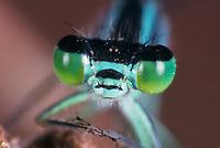 Große Pechlibelle, Portrait, Augen, Facettenauge, Facettenaugen, Komplexauge, Komplexaugen, Pech-Libelle, Ischnura elegans, common ischnura, blue-tailed damselfly, Common Bluetail, Agrion élégant