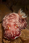 Nudibranch : Reticulated chromodoris: Chromodoris reticulata, : Head on view, Komodo National Park
