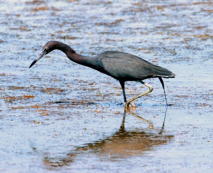 Little blue heron adult fishing on shallow flat