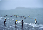 king penguins going for a swim