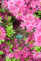 Robin's Nest, in a azalea bush, New Jersey