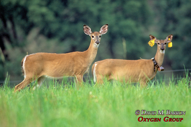 White-tailed Deer With Tags