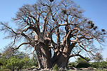 The Seven Sisters baobab is comprised of seven trunks and is claimed to be the third largest tree in Africa.