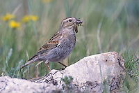 McCown's Longspur - Calcarius mccownii - breeding female