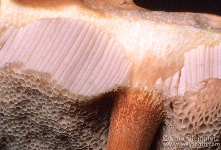 Close-up view of Bolete mushroom cap cutaway, showing the spore-bearing spongy tubes, or pores, in place of gills, the latter of which are more typical of mushrooms that have stems and caps.