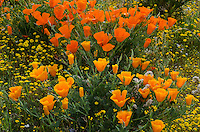 California Poppies (Eschscholzia californica) and goldfield wildflowers.  California.  March.
