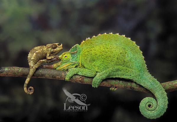 Jackson's Chameleon (Chamaeleo jacksonii) males adult & young. Native to Kenya & Tanzania, introduced to Hawaii. Captive.