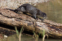 River Otter walking down a log near a pond - CA