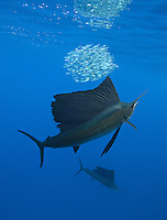 qh1513-D. Atlantic Sailfish (Istiophorus albicans) feeding on sardines. Some consider this the same species as the Indo-Pacific Sailfish (I. platypterus). Mexico, Gulf of Mexico..Photo Copyright © Brandon Cole. All rights reserved worldwide.  www.brandoncole.com..This photo is NOT free. It is NOT in the public domain. This photo is a Copyrighted Work, registered with the US Copyright Office. .Rights to reproduction of photograph granted only upon payment in full of agreed upon licensing fee. Any use of this photo prior to such payment is an infringement of copyright and punishable by fines up to  $150,000 USD...Brandon Cole.MARINE PHOTOGRAPHY.http://www.brandoncole.com.email: brandoncole@msn.com.4917 N. Boeing Rd..Spokane Valley, WA  99206  USA.tel: 509-535-3489