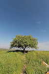 Israel, Lower Galilee. An Oak tree on Tel Govel by Beth Keshet scenic road