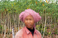 A farmer stands in front of a Cassava plantation in the Phnom Tnout Phnom Pok Wildlife Sanctuary, in northern Cambodia. Clearance of forests for agriculture is one of the biggest threat facing Cambodia's last remaining forests.