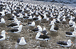 Falkland Islands; Black-browed albatross nesting colony on Steeple Jason
