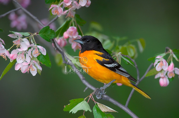 Male Northern Oriole or Baltimore Oriole (Icterus galbula) in apple tree.  Spring.