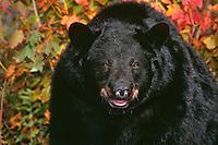 Black Bear (Ursus americanus) boar in eastern hardwood forest.  Fall.