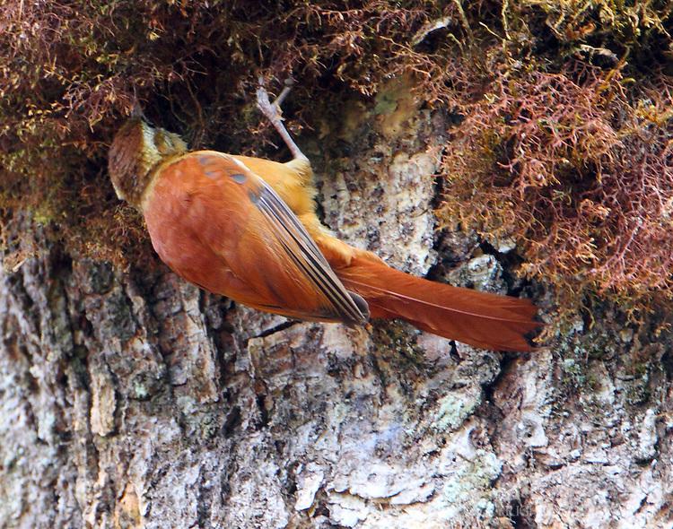 Ruddy treerunner