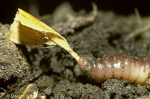 1Y01-054z  Earthworm - nightcrawler mouth pulling leaf to burrow - Lumbricus terrestris