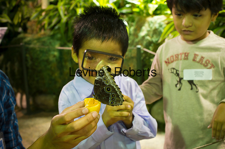 "Children from the Goddard Riverside Head Start Program observe a Blue Morpho butterfly (morpho peleides) from Costa Rico in ""The Butterfly Conservatory:  Tropical Butterflies Alive in Winter"" at the American Museum of Natural History in New York on Thursday, October 6, 2011.  500 butterflies hover above the visitors in the 1200 square foot  vivarium where children and adults can observe and play amongst the flying beauties.  (© Frances M. Roberts)"