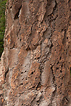 Texture of an old fir tree, Mt. Rainier National Forest.  Vertical