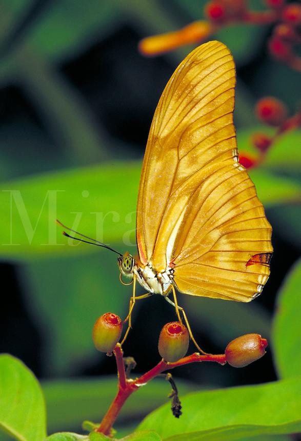 "DRYUS IULIA, """"Julia Butterfly"""", resting on Hamelia patens, at Audubon Zoo. range - Southern USA to South America. Subfamily - Heliconiinae; Family - Nymphalidae; Order - Lepidoptera; Class - Insecta; Phyllum - Arthropoda; Kingdom - Animalia. NEW ORLEANS L"