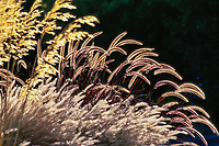 Seed heads of Purple Fountain Grass Pennisetum setaceum 'Rubrum' (back-lit) in grass garden