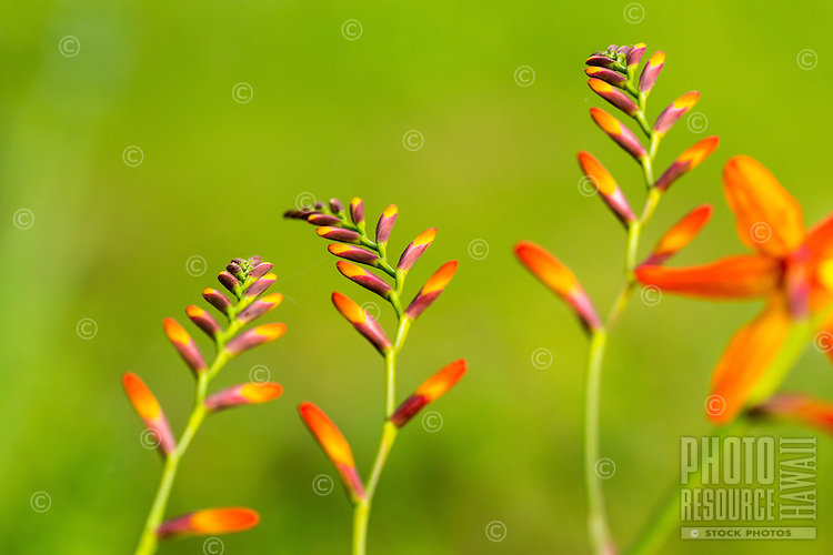 A close-up of briliiant crocosmia flowers at Koke'e State Park on the island of Kaua'i.