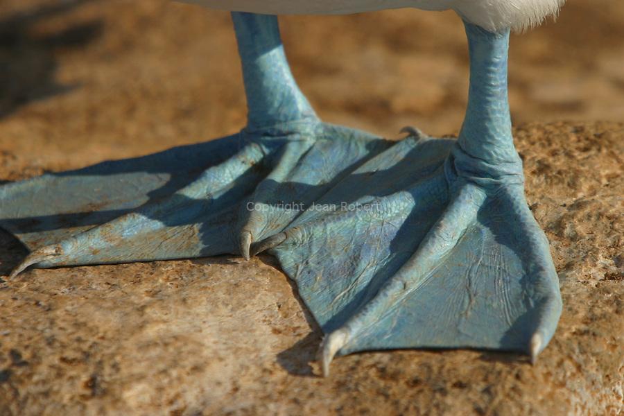 Fous a pattes bleues (Sula nebouxii excisa)  Isla Espanola. Punta suarez