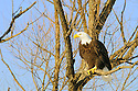 00370-015.17 Bald Eagle adult is perched in a tree.  Hunt, predator, scavenger, bird of prey, raptor, talon, symbol.