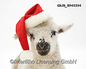 Kim, CHRISTMAS ANIMALS, WEIHNACHTEN TIERE, NAVIDAD ANIMALES, photos+++++,GBJBWP40994,#xa#