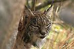 Wild Iberian Lynx resting behind boulder