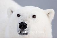 01874-106.12 Polar Bear (Ursus maritimus)  Churchill, MB