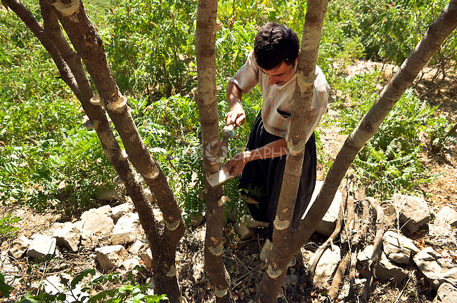 GALALA, IRAQ: Mohammad Abdul Rahman scars a tree's bark to release sap that will be made into traditional Kurdish chewing gum.<br /> <br /> Bnysht, a Kurdish is chewing gum made from the sap of the Daraban tree.  The sap is only harvested during July and August for 6 weeks using clay cups to catch the liquid as it is drawn for the tree's bark.<br /> <br /> Photo by Aram Karim