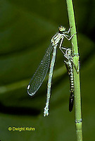 1O12-014z  Spreadwing Damselfly adult emerging from nymph skin and inflating wings - Lestes spp.