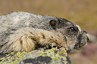 Hoary Marmot (Marmota caligata) resting.  Rocky Mountains.  Sept.