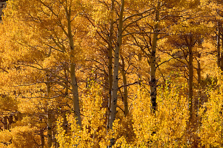 The middle of October brings forth the dramatic fall colors along the June Lakes Loop area of the eastern Sierras.