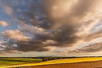 Contoured hills of wheat and distant canola crops in late afternoon light, Palouse region of eastern Washington.