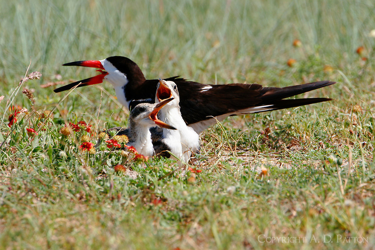 Adult black skimmer at nest, a shallow hole in the sand, and two chicks at the nesting colony at Rockport, TX Park