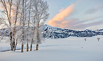 Yellowstone National Park, Wyoming: Frosted cottonwoods along Rose Creek at sunrise in the Lamar Valley