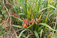 Iris foetidissima in berries